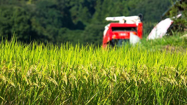 吉野は稲刈りシーズンです